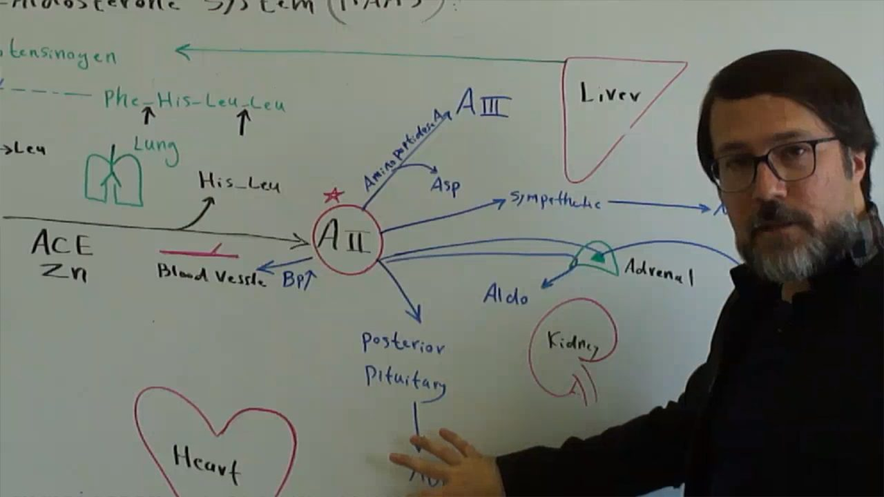 سیستم-رنین-آنژیوتنسین-آلدوسترون